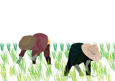 Illustrator-Thailand farmers rice planting working on white background. Stock Photo