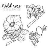 Illustrazione al tratto in bianco e nero della rosa canina royalty illustrazione gratis