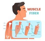 Illustrazione anatomica di vettore della fibra di muscolo, informazioni mediche di istruzione illustrazione di stock