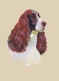 Illustrazione animale dell'acquerello del cane di cocker spaniel di inglese sul vettore bianco del fondo Immagini Stock Libere da Diritti