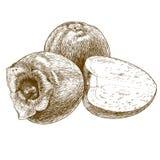 Illustrazione antica dell'incisione del cachi Fotografia Stock Libera da Diritti