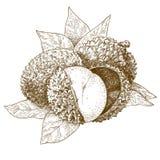 Illustrazione antica dell'incisione del litchi Fotografie Stock