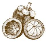 Illustrazione antica dell'incisione del mangostano Immagine Stock