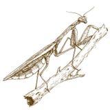 Illustrazione antica dell'incisione del mantide Immagini Stock Libere da Diritti