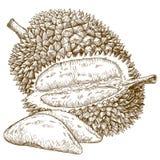 Illustrazione antica dell'incisione della frutta del durian Immagine Stock
