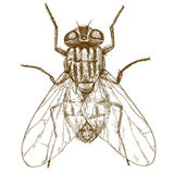 Illustrazione antica dell'incisione della mosca Fotografie Stock Libere da Diritti