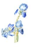 Illustrazione blu dell'iride dell'acquerello Immagine Stock Libera da Diritti