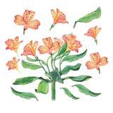 Illustrazione botanica dell'acquerello dei fiori di alstroemeria isolati su fondo bianco Fotografia Stock