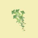 Illustrazione botanica dell'acquerello del ramo di timo isolato su fondo giallo-chiaro Fotografie Stock Libere da Diritti