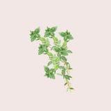 Illustrazione botanica dell'acquerello del ramo di timo isolato su fondo rosa-chiaro Immagini Stock
