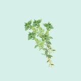 Illustrazione botanica dell'acquerello del ramo di timo su fondo blu-chiaro Fotografia Stock Libera da Diritti