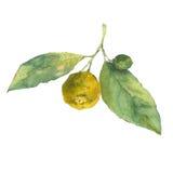 Illustrazione botanica dell'acquerello dell'agrume con le foglie verdi su fondo bianco Fotografia Stock Libera da Diritti