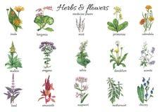 Illustrazione botanica dell'acquerello delle piante della medicina illustrazione vettoriale