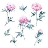 Illustrazione botanica dell'acquerello di un gruppo di pioni Immagine Stock
