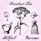 Illustrazione botanica di millefolium di Yarrow Achillea Immagine Stock