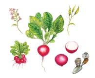 Illustrazione botanica realistica dell'acquerello del ravanello rosso Raphanus sativus royalty illustrazione gratis