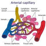 Illustrazione capillare arteriosa di vettore Fotografie Stock Libere da Diritti