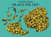 Illustrazione con la sorba e rovo disegnati a mano con inchiostro nero Immagini Stock Libere da Diritti
