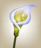 Illustrazione creativa del fiore porpora della calla Fotografia Stock Libera da Diritti