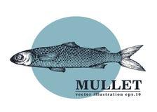 Illustrazione d'annata di schizzo di vettore disegnato a mano dei frutti di mare del pesce della muggine Può essere l'uso per il  Fotografia Stock Libera da Diritti