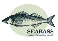Illustrazione d'annata di schizzo di vettore disegnato a mano dei frutti di mare del pesce della spigola Può essere l'uso per il  Fotografia Stock
