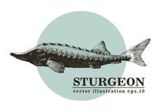 Illustrazione d'annata di schizzo di vettore disegnato a mano dei frutti di mare del pesce dello storione Può essere l'uso per il Fotografia Stock