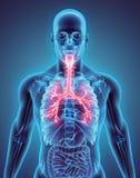 illustrazione 3D dei bronchi della trachea della laringe Fotografia Stock Libera da Diritti