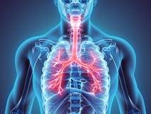 illustrazione 3D dei bronchi della trachea della laringe Fotografie Stock