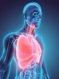 illustrazione 3D dell'apparato respiratorio Fotografie Stock Libere da Diritti