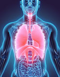illustrazione 3D dell'apparato respiratorio Fotografia Stock Libera da Diritti