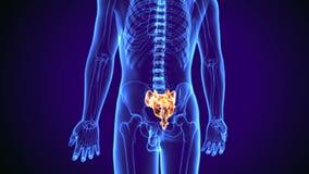 illustrazione 3d di anatomia dell'osso del sacro del corpo umano illustrazione di stock