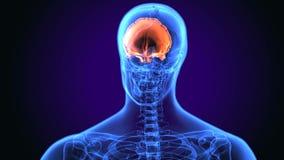 illustrazione 3d di anatomia dell'osso frontale del corpo umano royalty illustrazione gratis