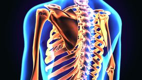 illustrazione 3d di anatomia della gabbia toracica del corpo umano illustrazione vettoriale