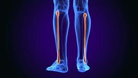 illustrazione 3d di anatomia umana dell'osso del perone royalty illustrazione gratis