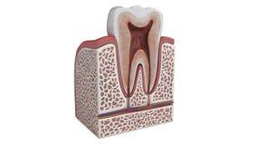 illustrazione 3D di un'anatomia del dente illustrazione di stock