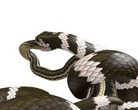 illustrazione 3D di un re Snake Swallowing di California un serpente di giarrettiera Fotografie Stock Libere da Diritti