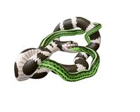 illustrazione 3D di un re Snake Swallowing di California un serpente verde Immagini Stock