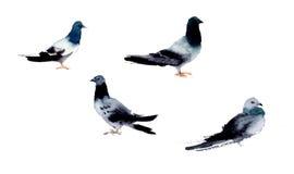 Illustrazione dei piccioni dell'acquerello Fotografia Stock