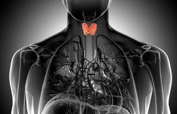 Illustrazione dei raggi x della ghiandola tiroide maschio Fotografia Stock Libera da Diritti