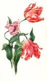 Illustrazione dei tulipani dell'acquerello Immagini Stock