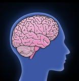 Illustrazione del cervello umano illustrazione vettoriale