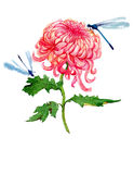 Illustrazione del crisantemo dell'acquerello Fotografia Stock Libera da Diritti