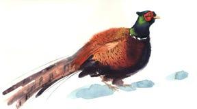 Illustrazione del fagiano dell'acquerello Fotografia Stock