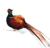 Illustrazione del fagiano dell'acquerello Immagini Stock Libere da Diritti