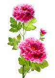 Illustrazione del fiore del crisantemo dell'acquerello Fotografie Stock Libere da Diritti