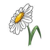 Illustrazione del fiore della margherita Immagine Stock