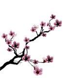 Illustrazione del fiore di ciliegia Fotografia Stock