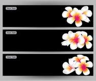 Illustrazione del frangipane del fiore delle Hawai, modello bianco dell'opuscolo di plumeria illustrazione di stock