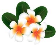 Illustrazione del frangipane del fiore delle Hawai, plumeria bianca illustrazione di stock