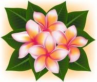 Illustrazione del frangipane del fiore di rosa delle Hawai, plumeria rubra royalty illustrazione gratis
